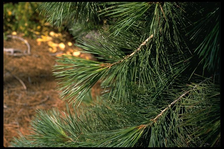 Pinus lambertiana (sugar pine)